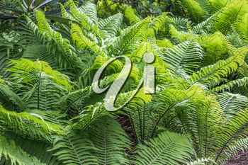 A macro shot of delicate ferns in the Pacific Northwest. Background or texture.