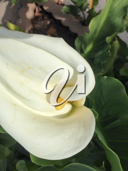 white calla lily beauty shot on a sunny day