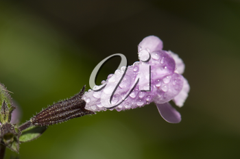 Flower of sage (Salvia officinalis) covered of dew drops. Integral Natural Reserve of Mencafete. Frontera. El Hierro. Canary Islands. Spain.