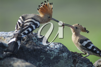 Eurasian hoopoes (Upupa epops). Male giving food to the female. Uga. Yaiza. Lanzarote. Canary Islands. Spain.