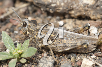 Grasshopper. Arrecife. Lanzarote. Canary Islands. Spain.