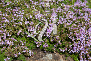 Thymus plant with small pink flowers background, Pico, Azores, Portugal