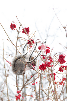 Grey squirrel in a tree eating red berries during winter season